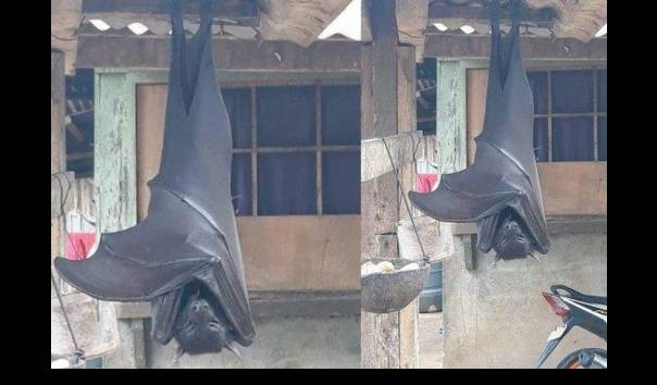 kelelawar-raksasa-menggantung-depan-rumah-di-filipina-viral-seperti-vampir