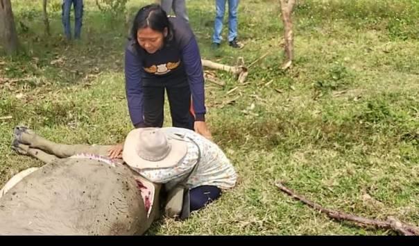 Pemilik hewan kurban meratapi kepergian kerbau peliharaannya yang disembelih orang tak dikenal dan dagingnya dicuri. (Sumber: Kompas.com)