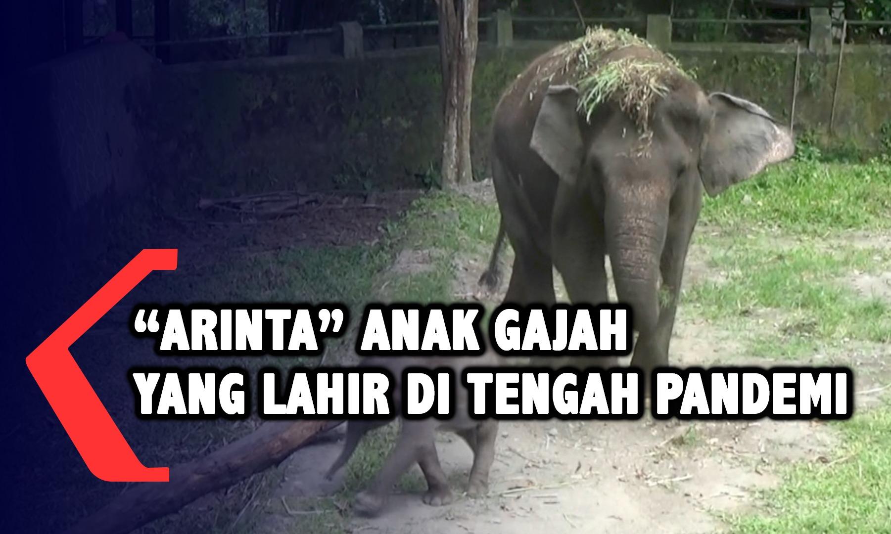 arinta-anak-gajah-sumatera-yang-lahir-di-tengah-pandemi-corona